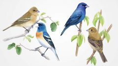 Lazuli and Indigo BUnting, Illustrations by Bartels Science Illustrator Jessica French
