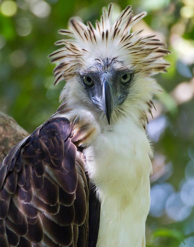 Philippine Eagle photo by kike arnal