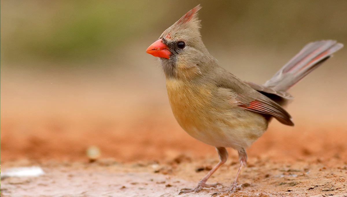 Northern Cardinal by Graham Montgomery/Macaulay Library.