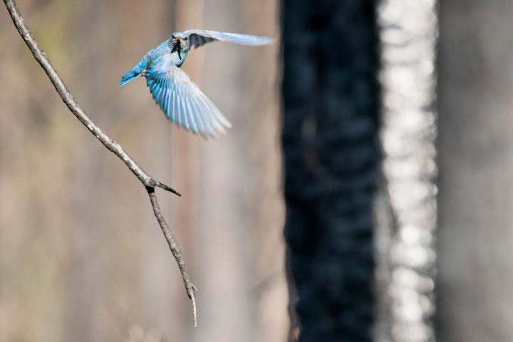 A Mountain Bluebird brings a flash of blue to the landscape. Photo by Jeremy Roberts/Conservation Media.