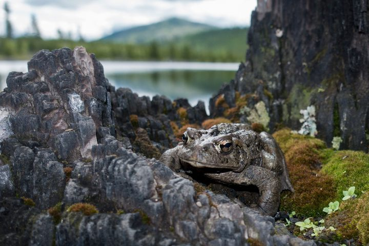 A boreal toad perches atop the moss-laden remnants of a tree that burned in a wildfire in Montana 15 years ago. Photo by Jeremy Roberts/Conservation Media.