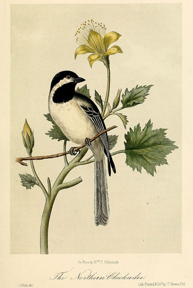 Black-capped Chickadee from Illustrations of the birds of California, Texas, Oregon, British and Russian America (1862). Illustration by John Cassin, image courtesy of Wikimedia Commons.