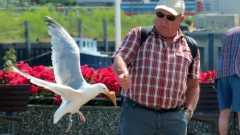 A Herring Gull snatches an ice cream cone. Photo by Per Andrén via Birdshare