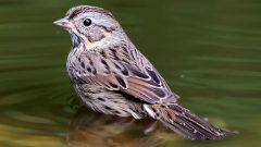 Lincoln's Sparrow by Nick Saunders. ML69095721