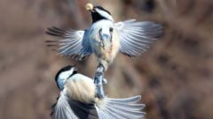 BLack-capped Chickadees by Jocelyn Anderson/GBBC.