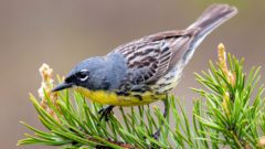 Kirtland's Warbler by Nathan Cooper