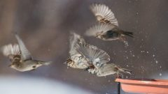 House Sparrows by Bonnie Coe/PFW