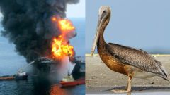 Deepwater on fire by US Coast Guard. Oiled Brown Pelican in 2019, photo by Gerrit Vyn.