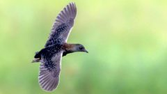 Black Rail in Texas. Photo by Jesse Huth/Macaulay Library.