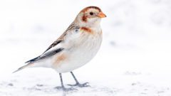 Snow Bunting by Brad Imhoff/Macaulay Library.