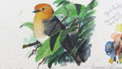 Orange-headed Tanager sketch by sylvain Uriot/Macaulay Library