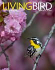 Living Bird, Spring 2021 cover: Yellow-throated Warbler by Ray Hennessey